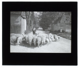 Moutons à Loeuilly - mai 1909