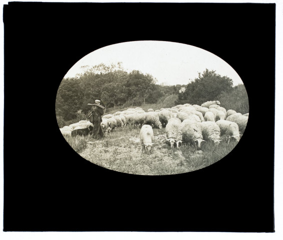 Moutons à Loeuilly - 1907